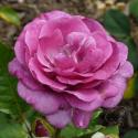 Violette Parfumee