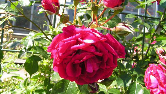 роза сорт магнит фото конечно ловить