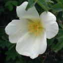 Rose spinosissima