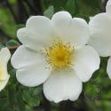 852_rose_spinosissima_2_125.jpg