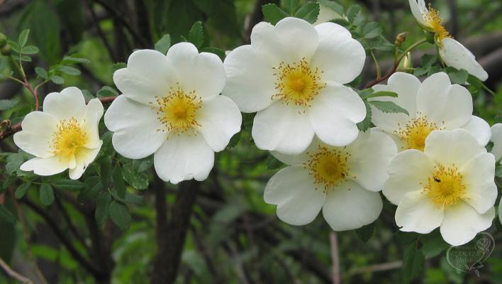 852_rose_spinosissima_2_708.jpg