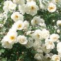 852_rose_spinosissima_3_125.jpg