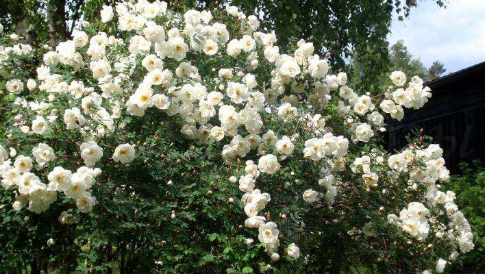 852_rose_spinosissima_3_708.jpg