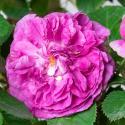 Parfum Flower Circus