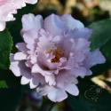 867_couture_rose_tilia__2_125.jpg