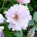 867_couture_rose_tilia__3_125.jpg
