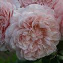 885_rose_de_tolbiac_2_125.jpg