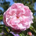 88_mary_rose_1_125.jpg