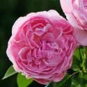 88_mary_rose_2_125.jpg