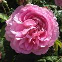 88_mary_rose_3_125.jpg