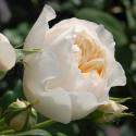 909_rose_marie_2_125.jpg