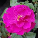 Adam's Rose