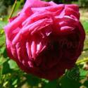 Crimson Blush