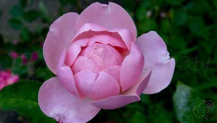 97_the_alnwick_rose_2_708.jpg