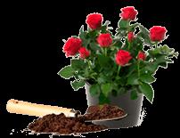 Как правильно посадить розы новичкам?